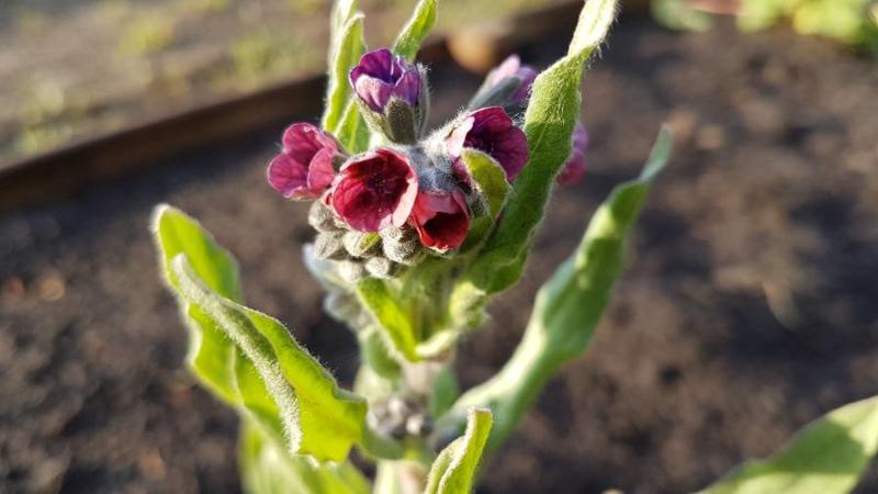 Plant: Veldhondstong (Cynoglossum officinale L.)