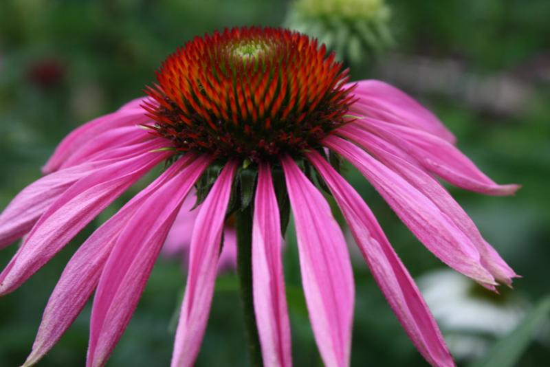 """Zonnehoed, rode (wortel) """"Echinacea purpurea"""" - 10 gram"""