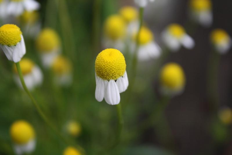 Kamille (bloem) - Matricaria chamomilla - biologisch 50 gram