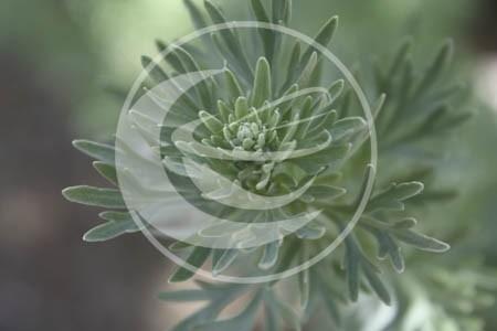 """Alsem (herba), """"Artemisia absinthium"""" - 10 gram"""