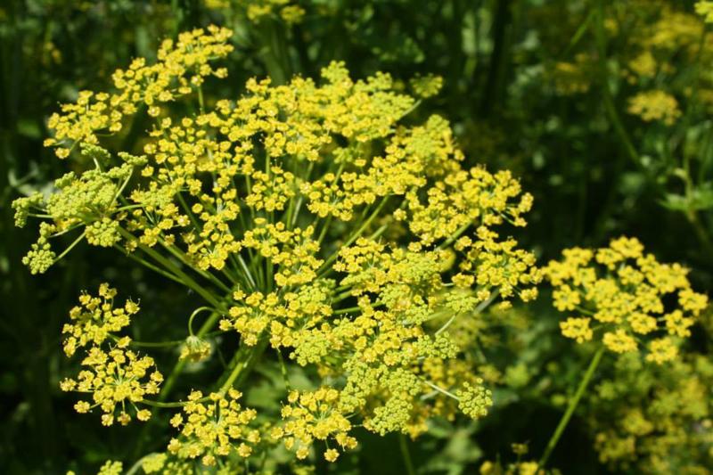 Plant: Venkel, wilde (Foeniculum vulgare)