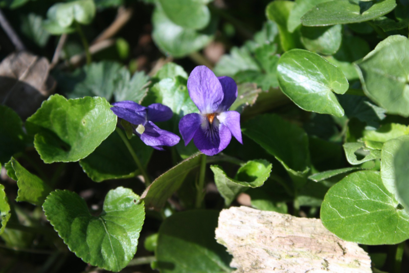 Plant: Viooltje, Maarts (Viola odorata)
