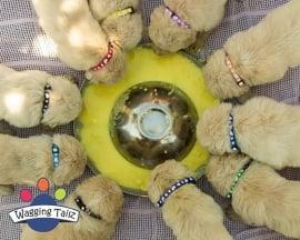 Puppy opvolg bandjes S hartjes