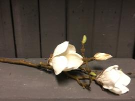 Magnolia tak bloem 60 cm