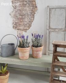 Lavendelplant in Pot met Steker