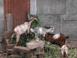 Small Goatskins