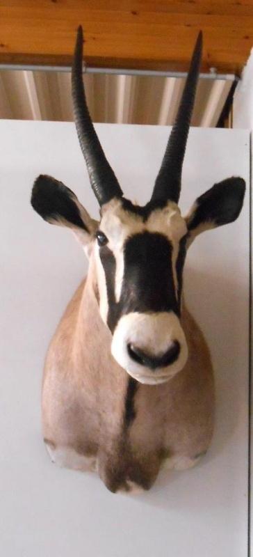 Gemsbok/Oryx Kop