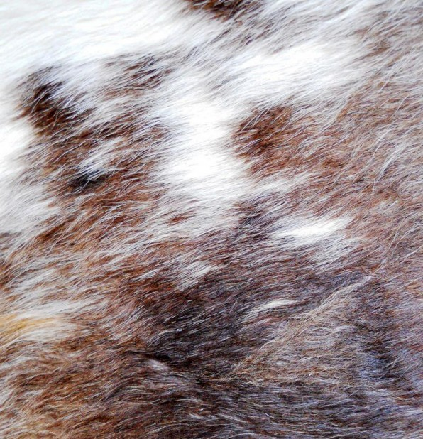 koeienhuidrood-bont.jpg