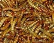 Meelwormen Kilo