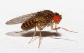 Fruitvliegen Groot ( ALLEEN VERS  opgezet )