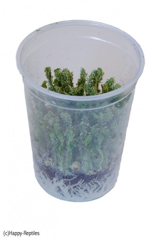 Ertenluis ( 1 Liter pot )