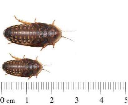 dubias  1 - 2 cm ( 100 stuks )