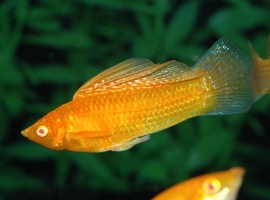 Molly oranje-Poecilia sphenops orange