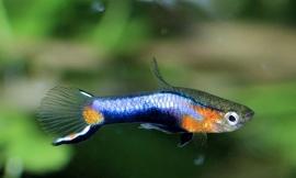 Endler blue star -Poecilia wingei blue star