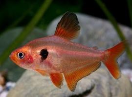 Rode minor-Hyphessobrycon eques
