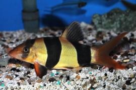Clownbotia-Chromobotia macracantha