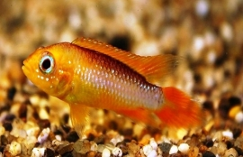 Apistogramma cacatuoides red fire