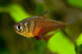 Rode rio-Hyphessobrycon flammeus