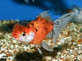 Leeuwenkop goudvis-Carassius auratus oranda