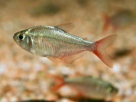 Colombia Tetra-Hyphessobrycon colombianus