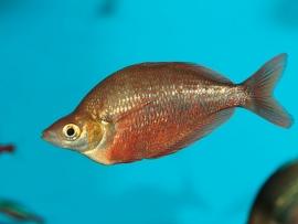 Rode Regenboogvis-Glossolepis incisus