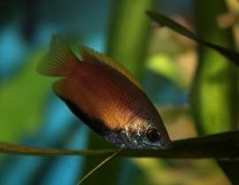 Honinggourami-Trichogaster chuna
