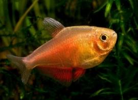 Rode rio oranje-Hyphessobrycon flammeus var. Orange