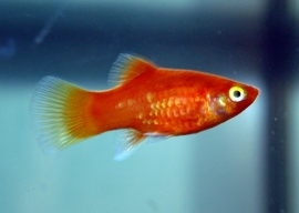 Platy-Xiphophorus maculatus