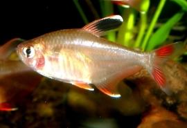 Roze tetra-Hyphessobrycon bentosi rosaeus