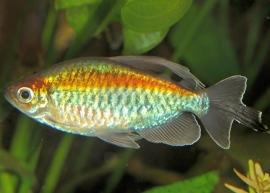 Congozalm blauw-Phenacogrammus interruptus