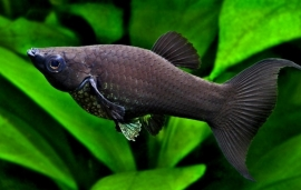 Black molly-Poecilia sphenops var.Black
