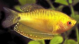 Goudgoerami-Trichogaster trichopterus gold