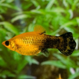 Gouden black molly-Poecilia velifera golden black molly