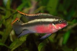 Kersenbuik -Pelvicachromis pulcher