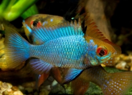 Antennebaarsje electric blue-Mikrogeophagus ramirezi electric blue