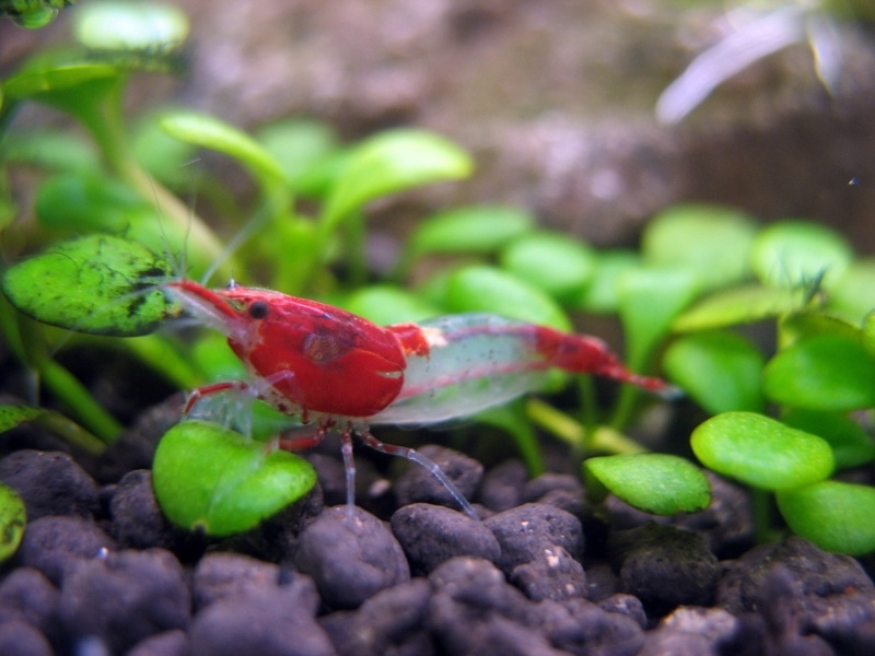 Neocaridina cf. davidi - Rili Garnaal Red