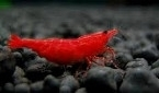 Neocaridina cf. davidi red fire