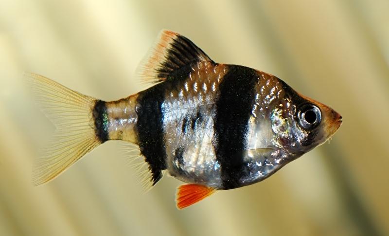 Sumatraan-Puntius tetrazona