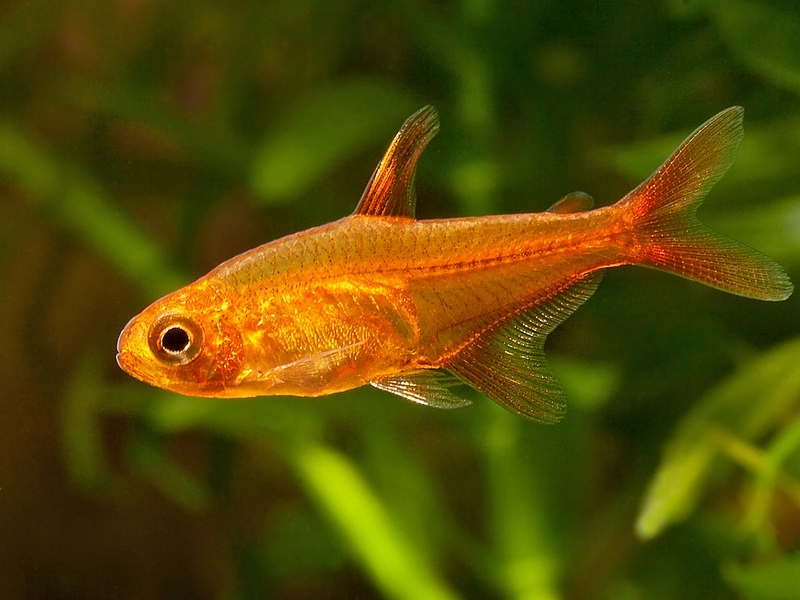 Ambertetra-Hyphessobrycon amandae