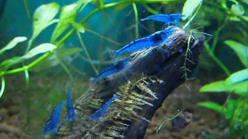Neocaridina cf. davidi `Blue Dream`, 10 stuks