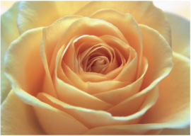 039 THE ORANGE ROSE 400x280 Bloem Roos fotobehang met lijm