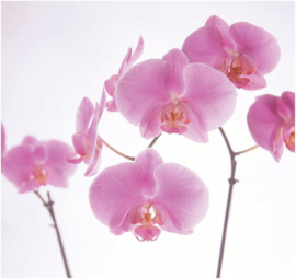 035  PINK ORCHID 300x280 Roze Orchidee Bloem fotobehang met lijm