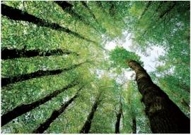 099 FOREST DREAMS 400x280 Bos Bomen Groen Lucht fotobehang met lijm
