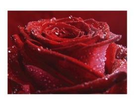 102 PROUD RED ROSE 400x280 Bloemen Roos Rood Fotobehang met lijm