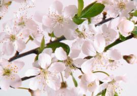 008 Kersenbloemen Vliesbehang  300x210 met gratis behanglijm