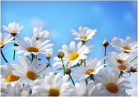052 Witte Kamille Bloemen 300x210  Fotobehang