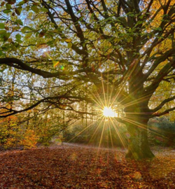We live by Light/Holland  Oude Beukenboom 2032  Fotobehang  - Noordwand