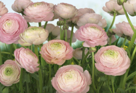Komar Stories 8-894 Gentle Rose/Bloemen/Rozen Fotobehang - Noordwand