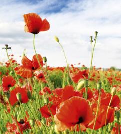 Dimex Fotobehang Red Poppies MS-3-0090 Rode Klaprozen/Veld/Bloemen/Natuur