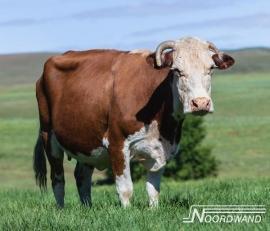 Noordwand Farm Live Fotobehang. 3750072  Cow in field/Koe in de wei behang